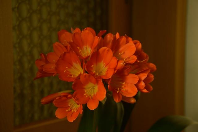 Klivie Vollblüte Spring