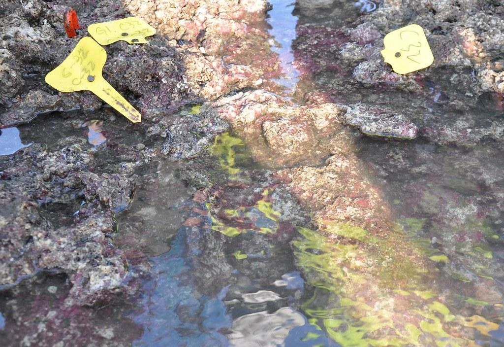 遭破壞的藻礁鄰近,可看到生長中的柴山多杯孔珊瑚。孫文臨攝