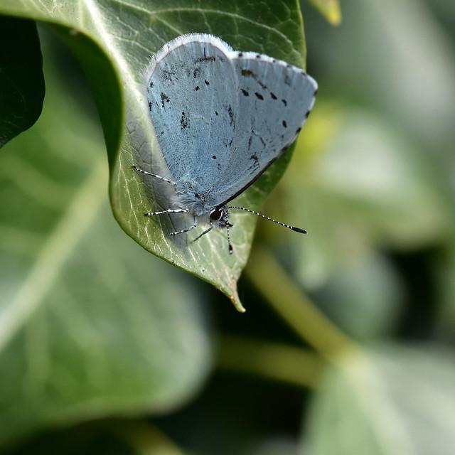 Holly Blue ... Celastrina argiolus