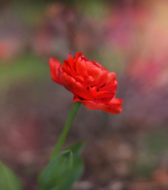 Good Friday Tulip...