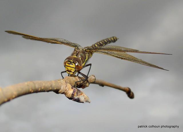 Common hawker