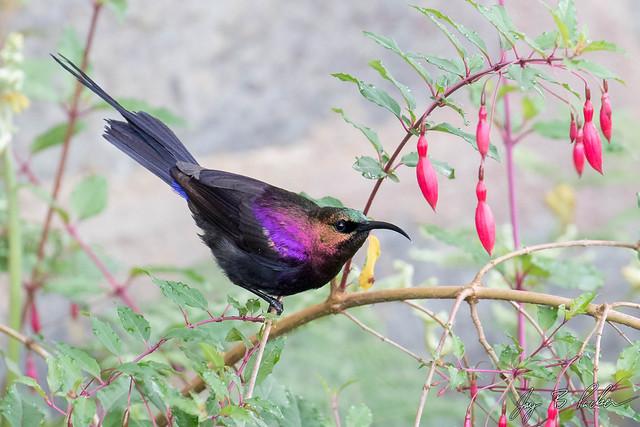 Tacazze Sunbird, male