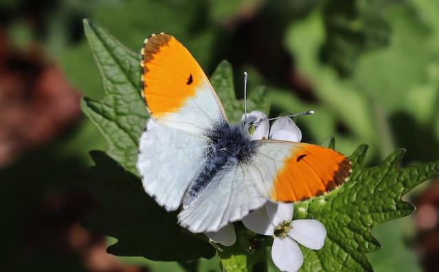 Aurorafalter (Anthocharis cardamines) (Männchen)
