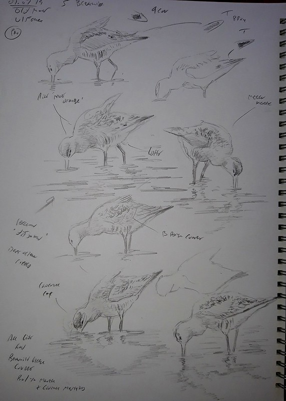 Godwits from @RussBoland 1of2