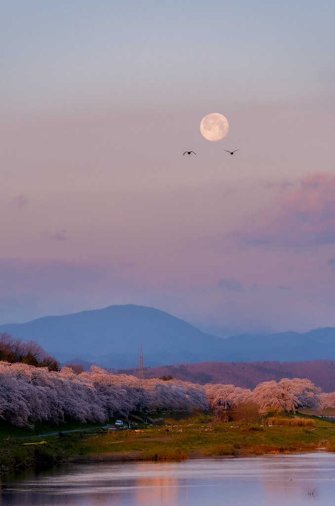 Cherry blossoms and the perigee full moon