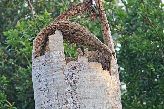 Royal Palm dead top 20200410