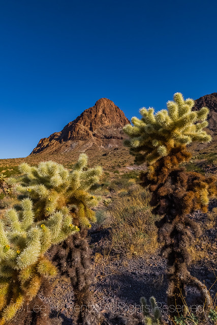 Cholla Cactus along Route 66 in Arizona