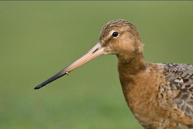 Godwit by Craig (@birdblogger) 4