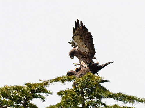 swainsons_hawks_mating-20200410-114-Edit