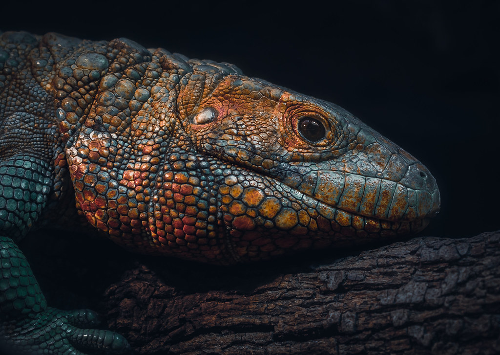 Northern Caiman Lizard