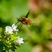 Eleganter Wollschweber, fast wie ein Kolibri