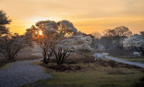 bluk hilversum laren amelanchier krentenboompjes charolais cffaa sunrise