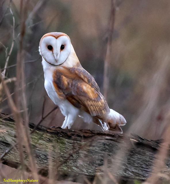 Barn Owl pose at Lunt