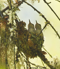 April 7 (3 days before fledging)-Two juvenile Anna's Hummingbirds in nest
