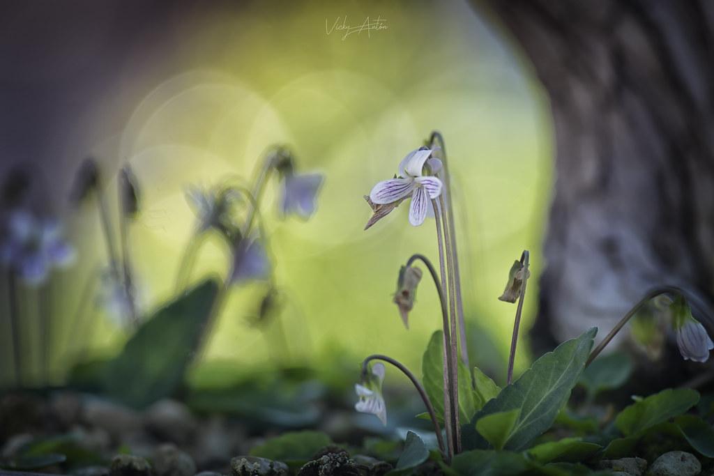 Violetas japonesas blancas.