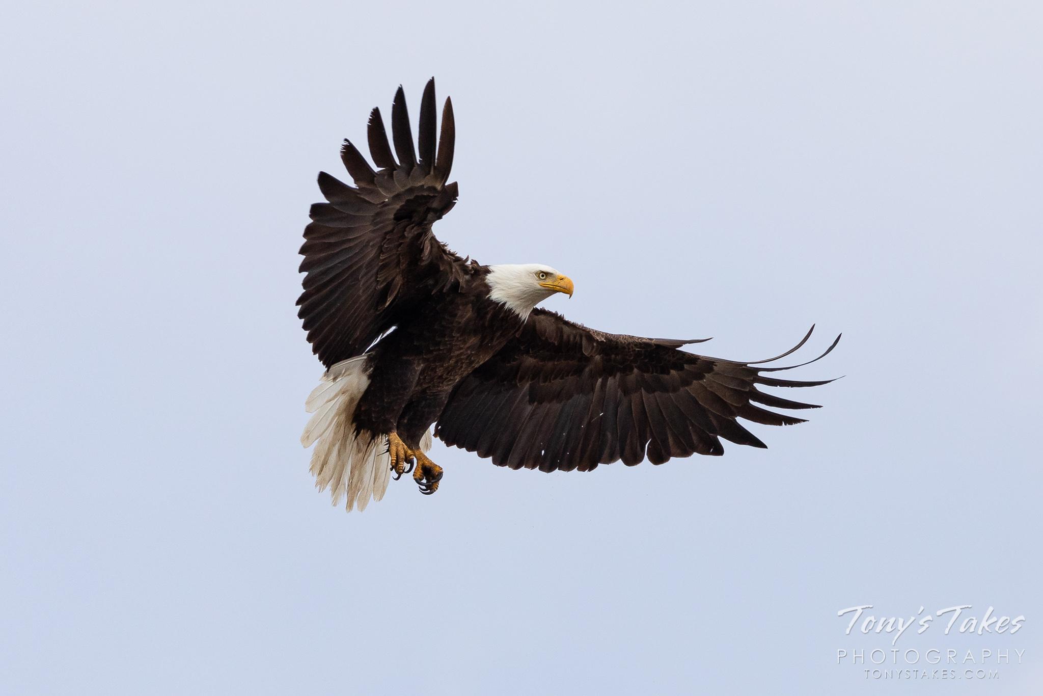 A bald eagle preps for landing. (© Tony's Takes)