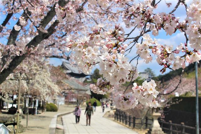 kokawadera-sakura002