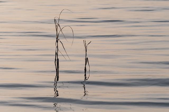Mörka vasstrån i vatten