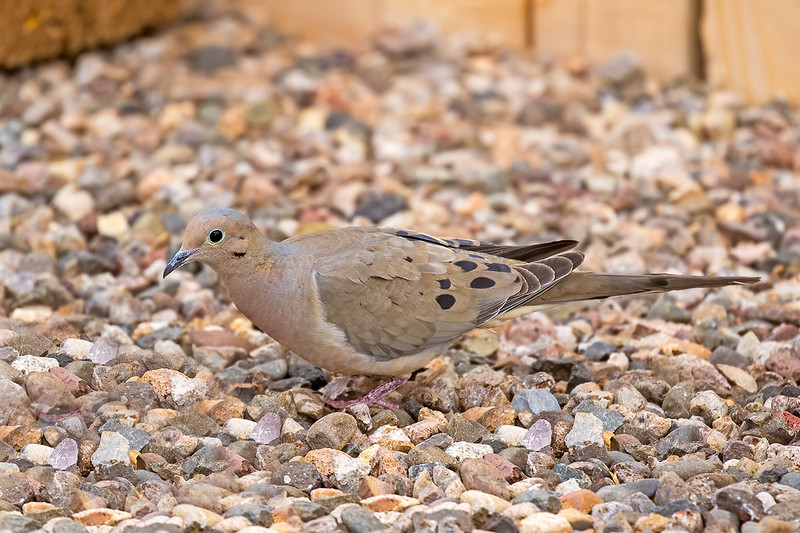 Mourning-Dove-19-7D2-040320