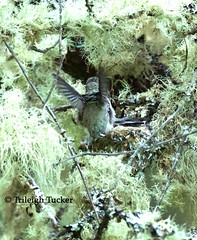 1 day before fledging-Young Anna's Hummingbird whirring wings in nest