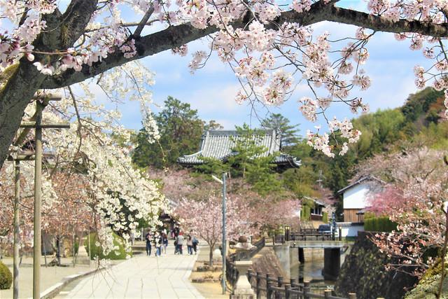 kokawadera-sakura003