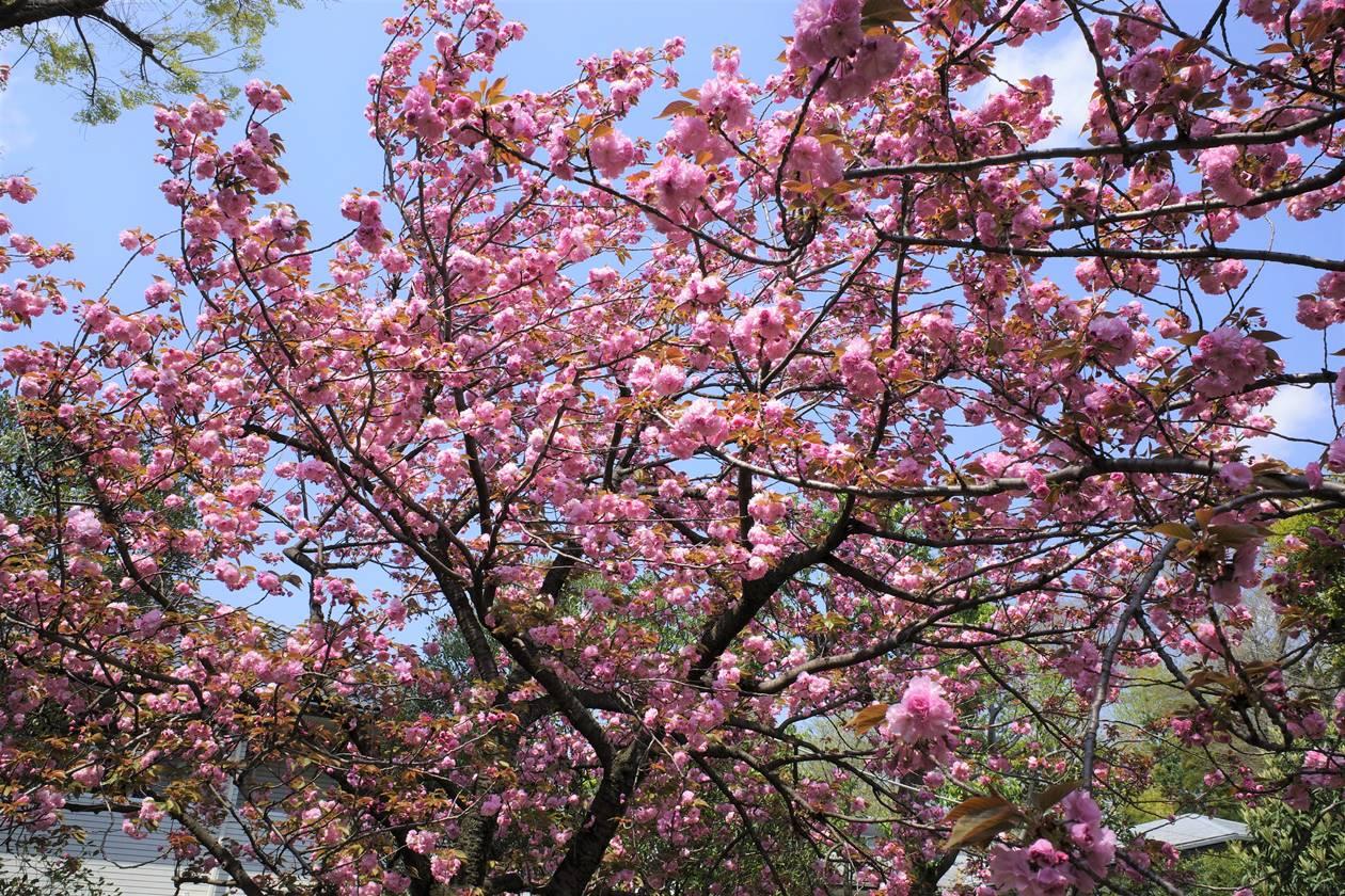 大田黒公園 満開の桜(サトザクラ)