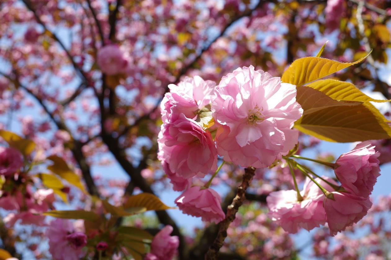 春の大田黒公園 満開のサトザクラ