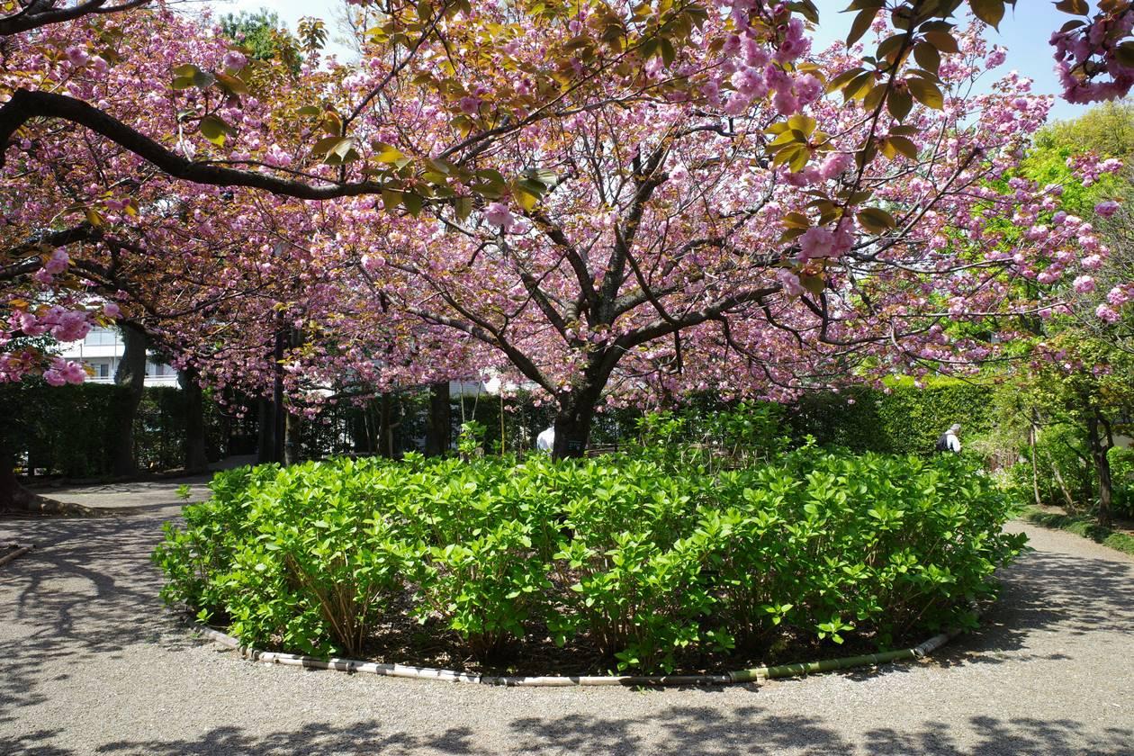 大田黒公園の桜(サトザクラ)