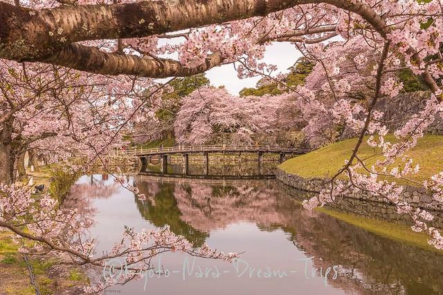 Cherry Blossoms at Hikone Castle, Shiga-ken, Japan.