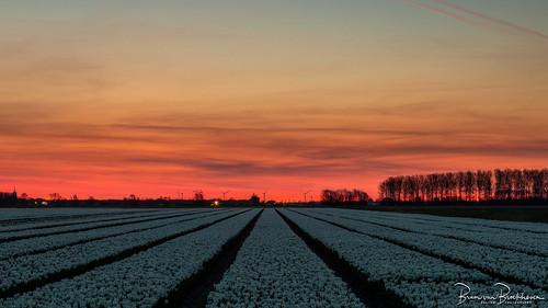 White tulips and rising sun