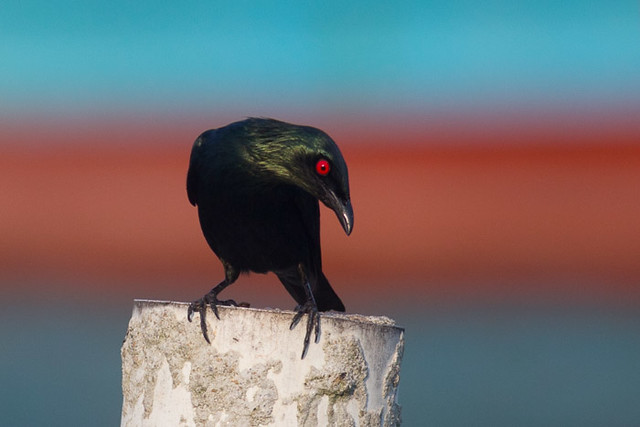 Asian Glossy Starling  - adult