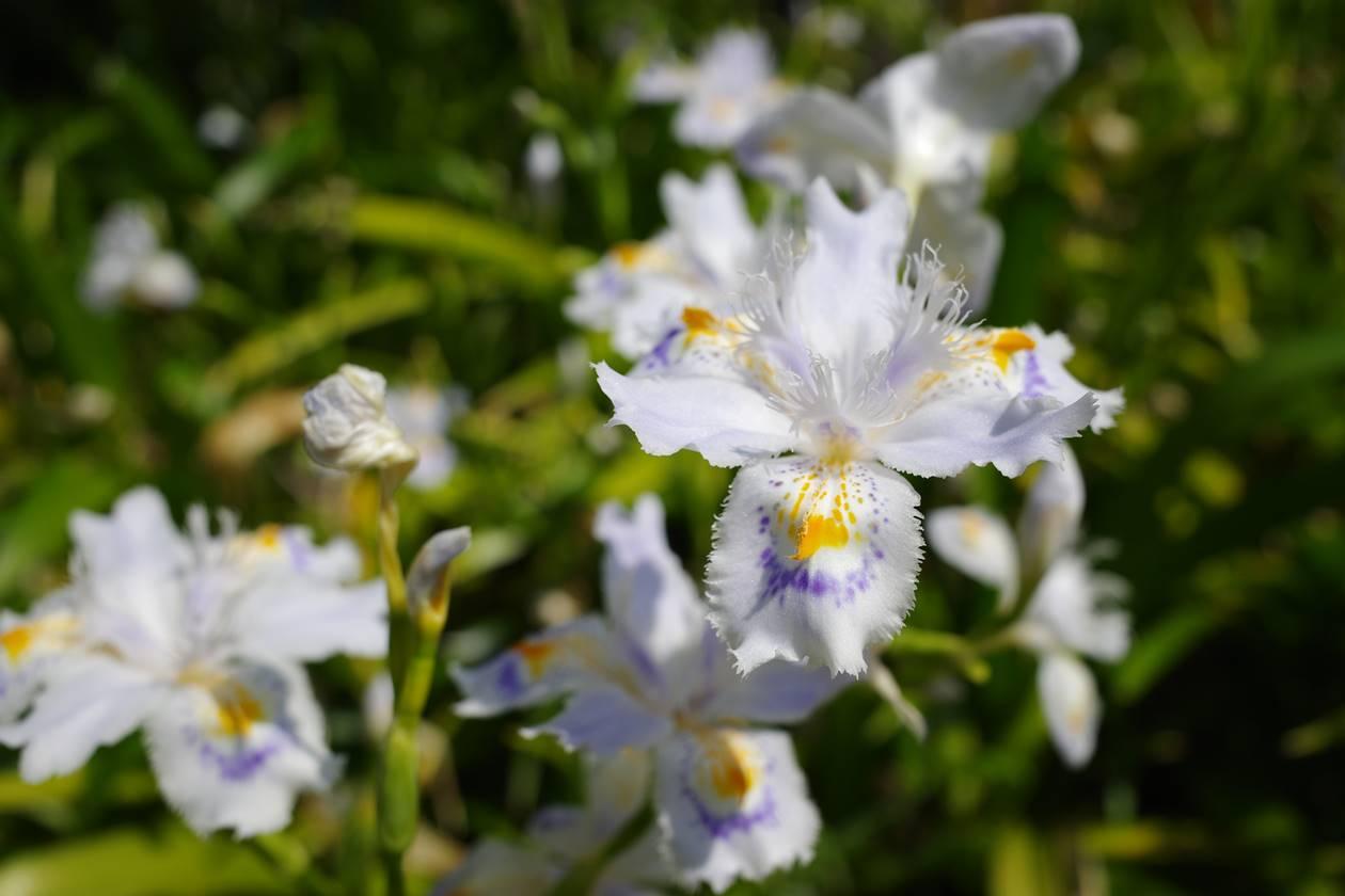大田黒公園に咲いていたシャガの花