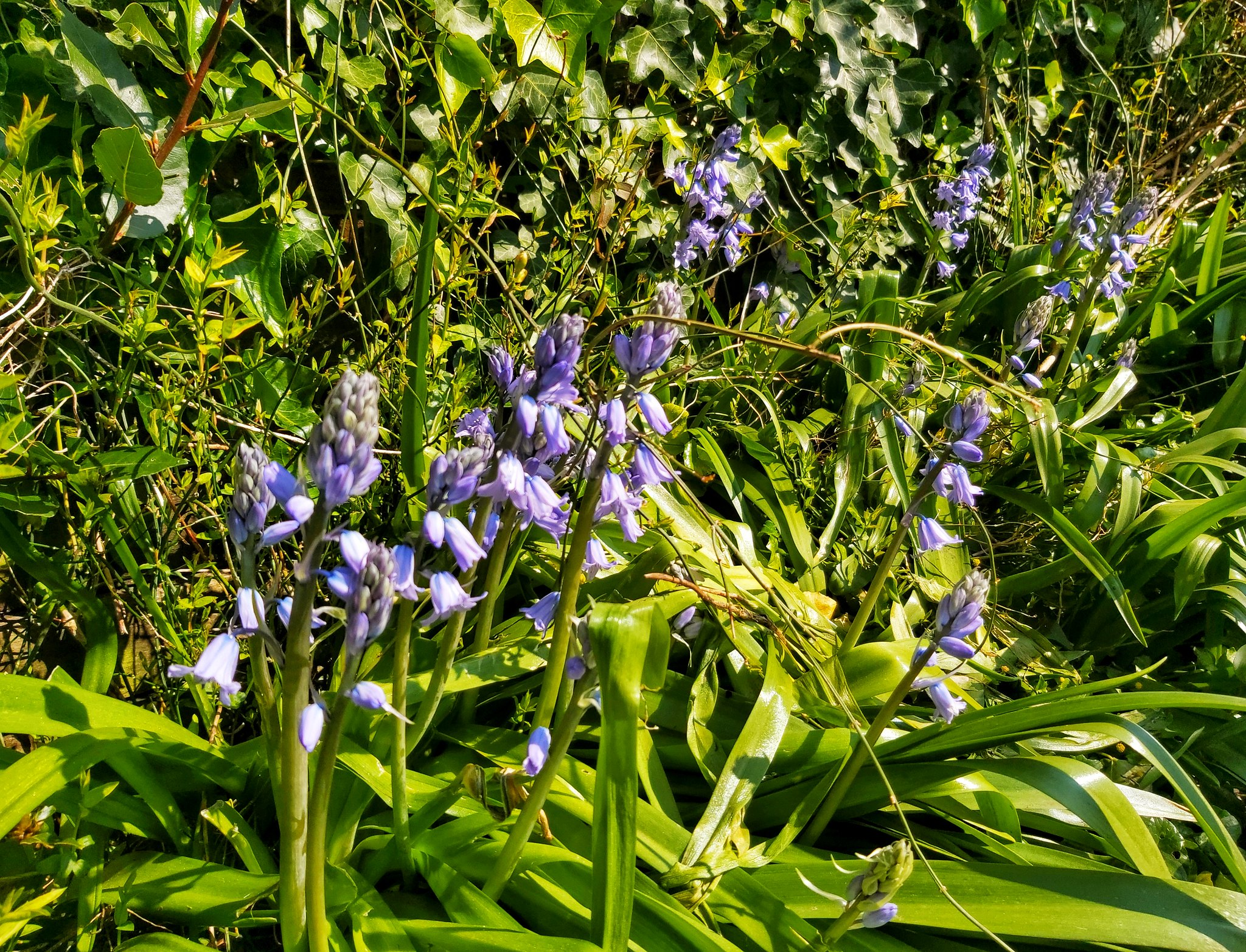Bluebells are out in the garden. Trying to get some garden images take  to keep in practice though this one was taken on the phone.