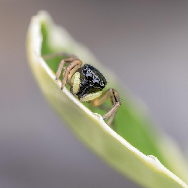 Juvenile Heliophanus spec.