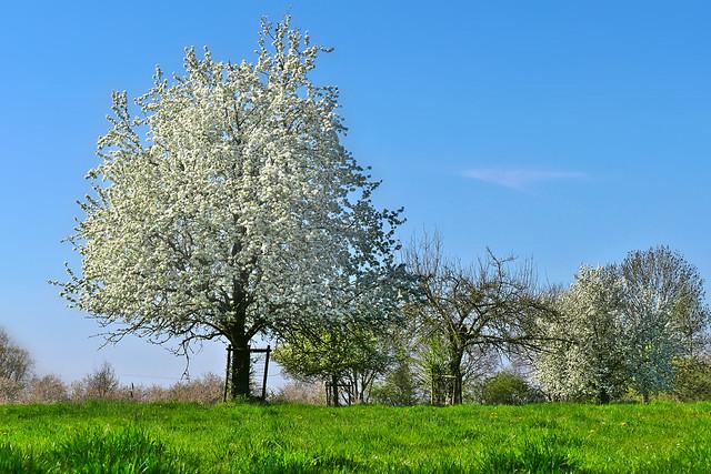 Ein Bongert im Frühling