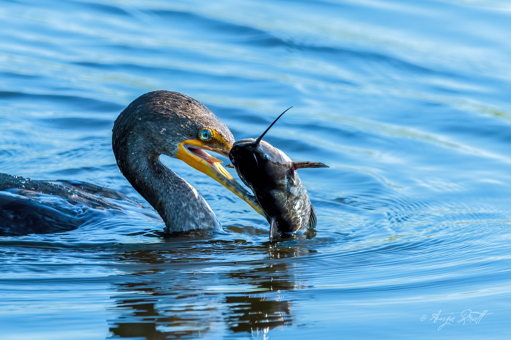 Ohrenscharbe / Double-crested cormorant