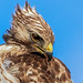 Rotschulterbussard / Red-shouldered hawk