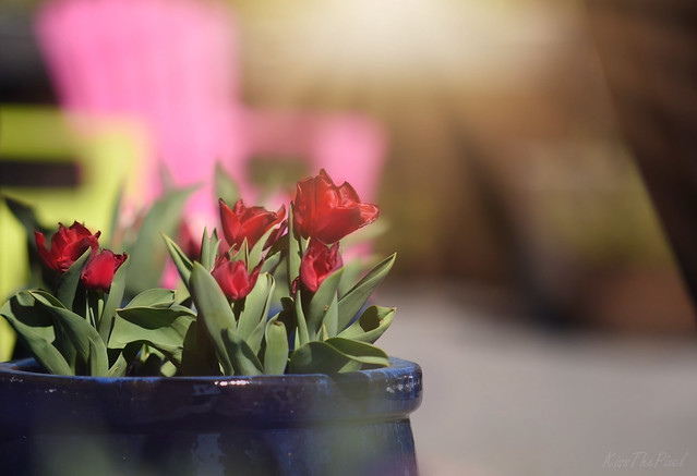 A pot of Tulips...