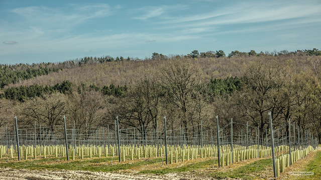 Another vineyard replaces part of a golf-course, a sign of global warming? Mannings Heath, High Weald of West Sussex.