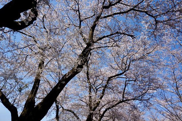 高尾城址公園の桜2