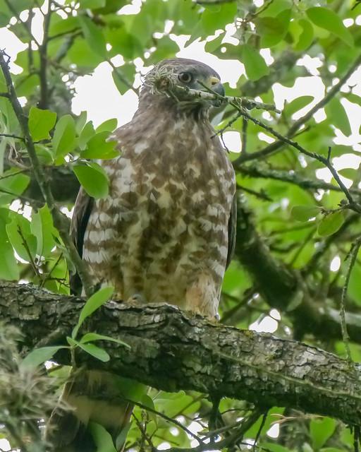 Broad-winged Hawk Building Nest - 1- 1