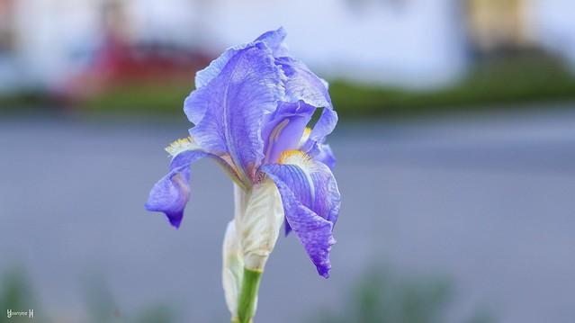 Iris - 8283