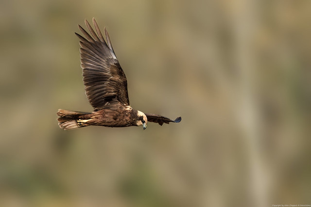 Busard des roseaux (Circus aeruginosus) - Western Marsh Harrier