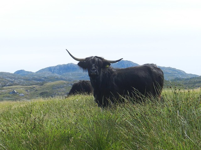 Heilan Coo, Great Bernera, July 2012