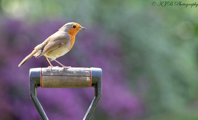 Robin(Garden Shovel)