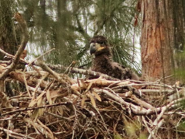 Bald Eagle eaglet 03-20200411t