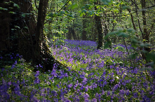 Bluebell Carpet in Barn Wood | by charlieishere@btinternet.com