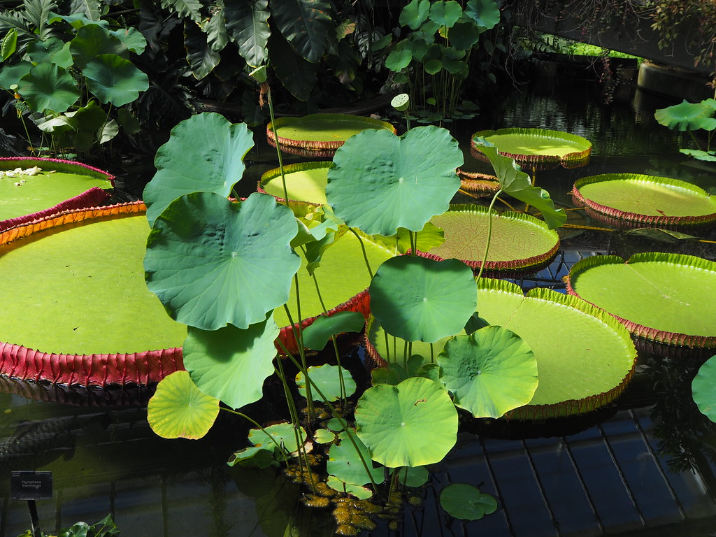 Lotus & Victoria amazonica or Victoria Regia leaves in Waterlily Pond_Princess of Wales Conservatory_P8020151