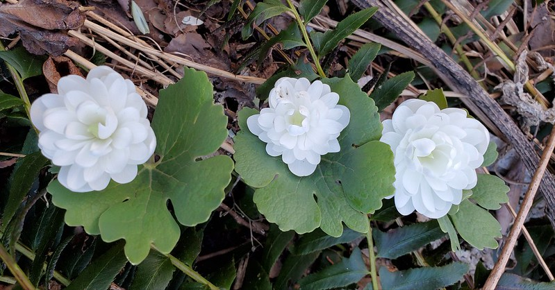 Double-flowering bloodroot, Sanguinaria canadensis, blooming in my backyard, April 2020