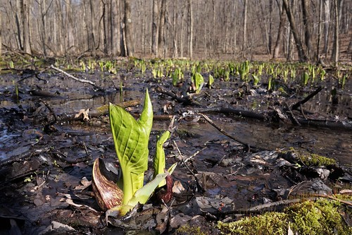 sonya5000 ilce5000 sel20f28 seidmanpark kentcounty skunkcabbage countypark covid19 wetland